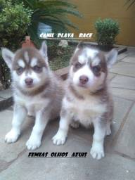 Husky Siberiano : Femeas olhos azuis de qualidade