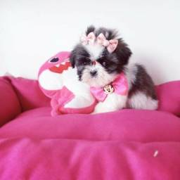 Um Encanto!!!!!!! Shih tzu mini