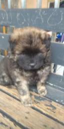 Chow Chow parcelo