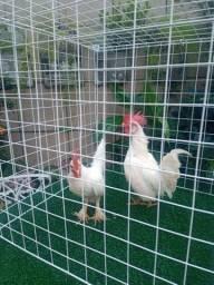 Lindos casais de galinhas da raça garnize