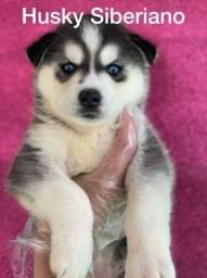 Husky siberiano com pedigree microchip até em 18x