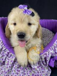 Belos filhotes de Golden Retriever