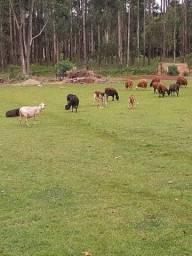 Lote de carneiros