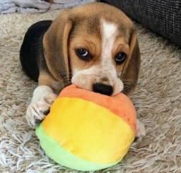 Filhotes 13 Polegadas Beagle Tricolor Pedigree