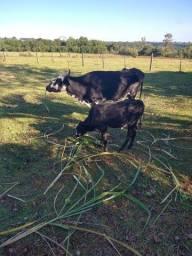 Vaca de primeira cria e terneira de 3 meses