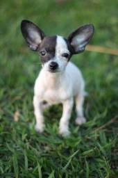 Fêmea Chihuahua
