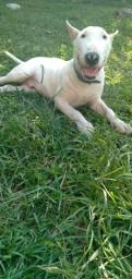 Venda cachorro Bull Terrier