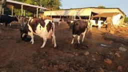 Arrenda se terra e leitaria com vacas (leia o anúncio)