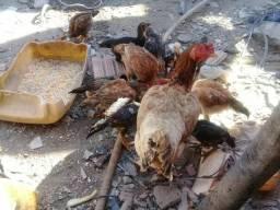 Vendo essa galinha com 12 franguinhos por 150 reais 5 macho 7 fêmeas caipira e carioca