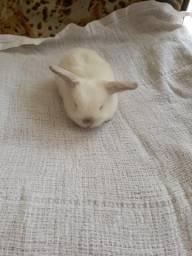 Lindos filhotes de mini lop