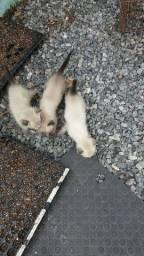 Doase gato siamês