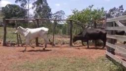 5 vacas