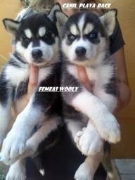 Husky Siberiano : Femeas olhos azuis alto padrao genetico