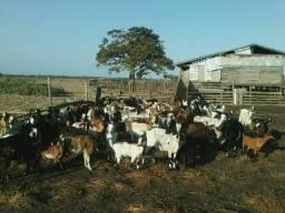 Vendas carneiros vivos bodes cabras e gados