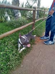 Pit Bullterrier *