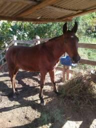 Potro neto do cavalo Nike 11 mês de idade