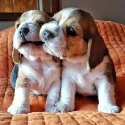 Beagle os mais fofinhos