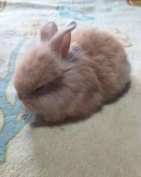 Vendo filhotes de coelho ( não é mini)