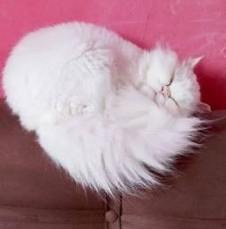 Adoto gato persa macho