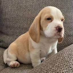 Beagle maravilhoso