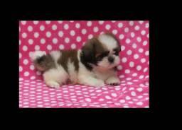 (imperdível) vendo lindo filhote (fêmea) cachorrinho Shih tzu shitzu
