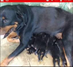 Filhotes de rottweiler...