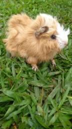 Porquinho da índia peruano macho
