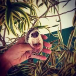 Ouriço pigmeu