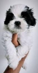 Ninguém pode falar que não tem um amigo se existe um cão! (Shih Tzu macho)