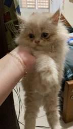Filhote de gata persa femea creme com pedigree e vacina.Parcelo cartão.Entrego Joinville
