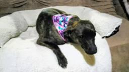 Cadela castrada para doação