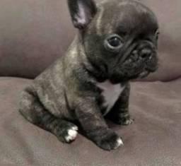 Fêmea de bulldog Francês mini