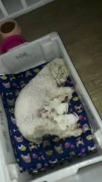 Filhote Poodle Fêmea