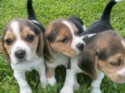 Beagle lindos filhotes com garantias!!!!