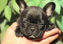 Bulldog com pedigree