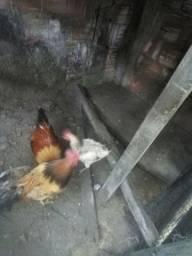 Vendo galo e galinha garnize