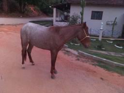 Egua e potra manga larga