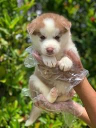 Filhotinhos de Husky Siberiano, com sup. vet. e garantia de saúde (tudo em contrato)