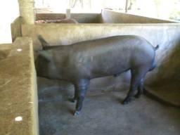 Porco pra abate