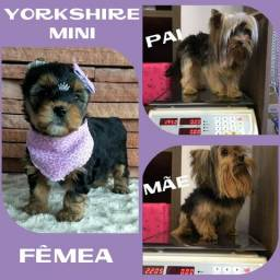 Yorkshire Mini Linda Fêmea Disponível * Microchipe * Garantia * Parcelado 12X