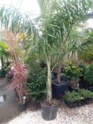 Palmeira areca de locuba