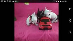 Bulldog francês original com pedigree e garantia no contrato