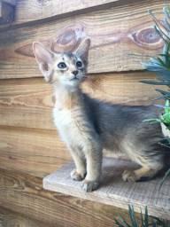 Somali ( gato raposa )