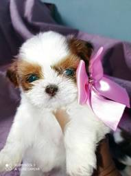 Linda mini shih Tzu feminhas douradas com branco olhos verdes