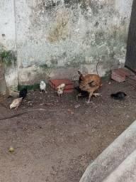 Galinha e 7 pintinhos. Ovos de indio gigante .