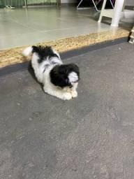 Cachorra Shitzu