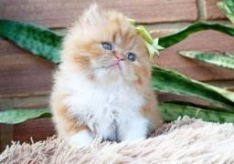 Gato Persa Fêmea Maravilhosa