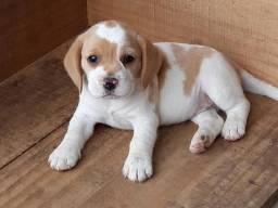 Beagle mini 13 polegadas exclusivos filhotes para você