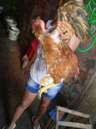 Casal de galinha polaca de raça galo e galinha