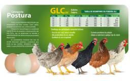 Galinha dos ovos coloridos GLC